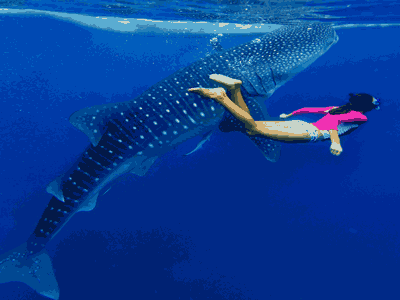 WhaleShark Watching