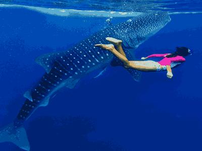 WhaleShark Watching